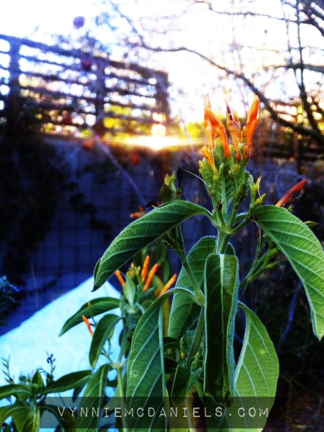 Justicia spicigera - garden radiance all year-round.