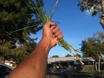 bermuda-grass weed